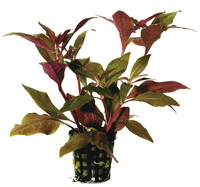 ALTERNANTHERA CARDINALIS 5 CM POT