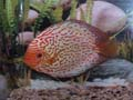 Discus Pigeon Blood Blue